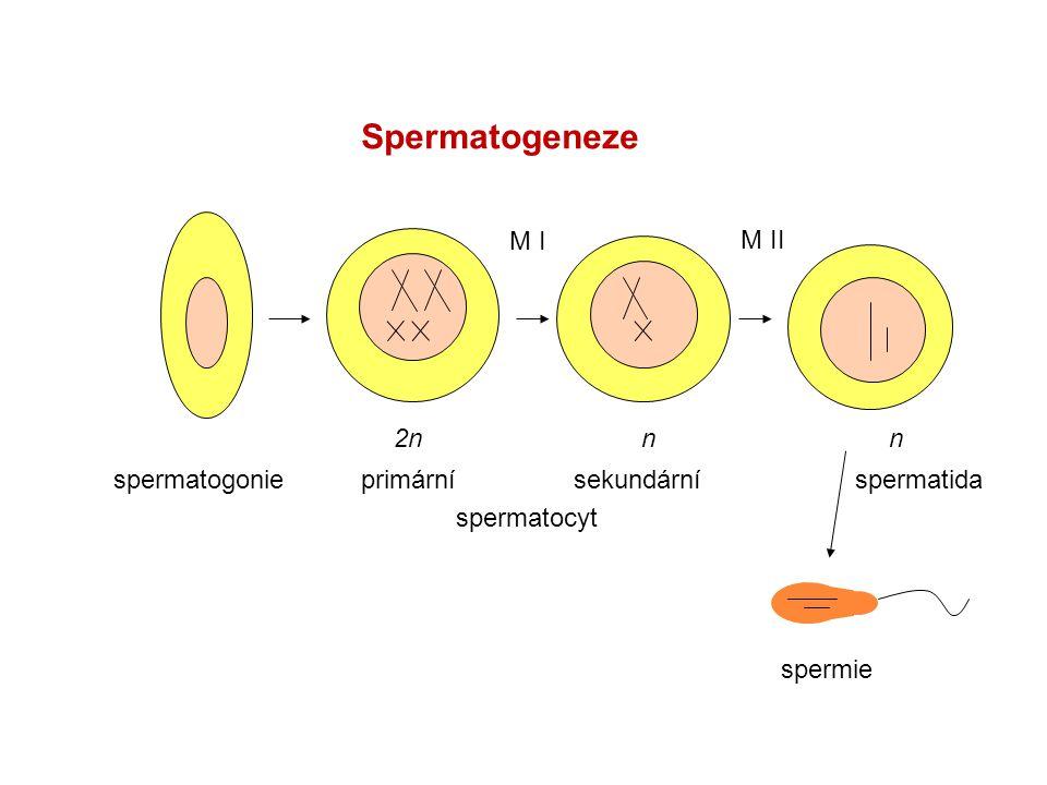spermatogonie M I M II 2nnn primární sekundární spermatocyt spermatida spermie Spermatogeneze