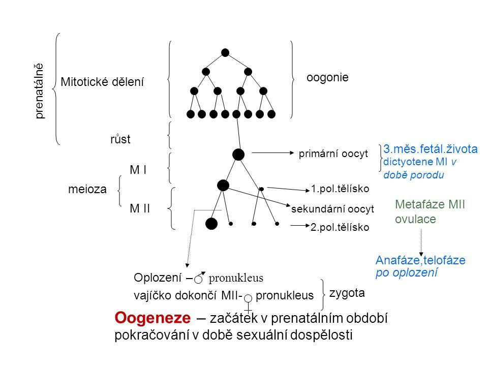 oogonie Mitotické dělení primární oocyt sekundární oocyt růst M I M II meioza Oogeneze – začátek v prenatálním období pokračování v době sexuální dosp