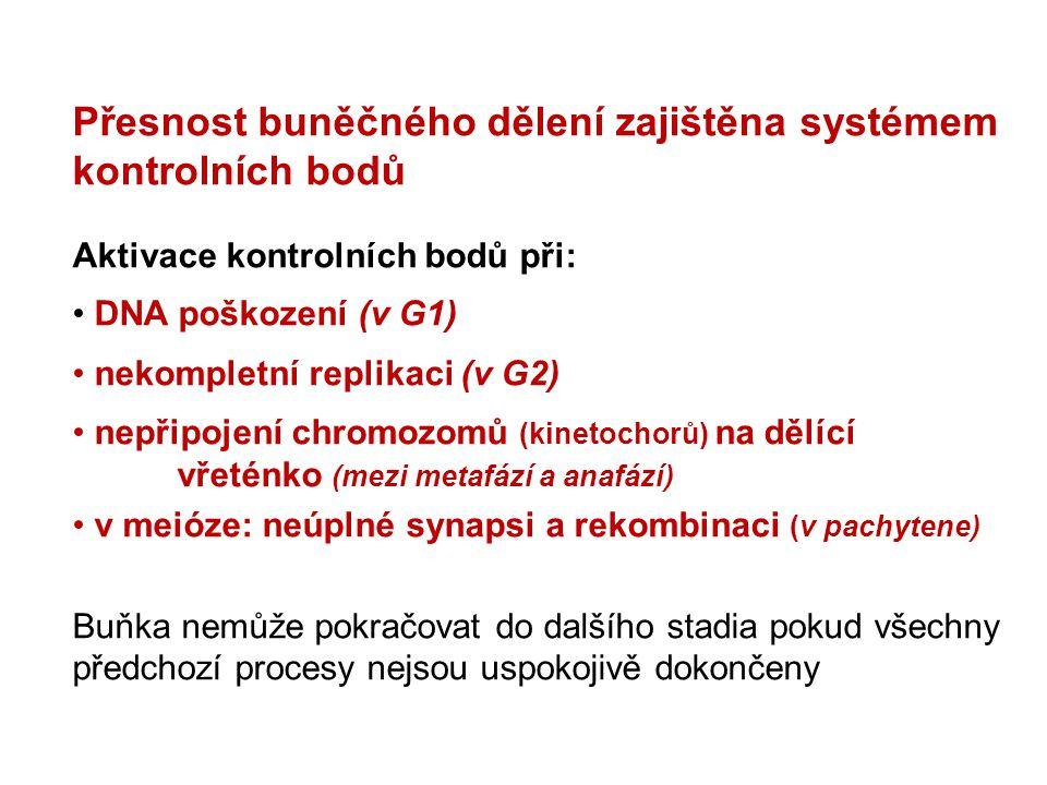 Přesnost buněčného dělení zajištěna systémem kontrolních bodů Aktivace kontrolních bodů při: DNA poškození (v G1) nekompletní replikaci (v G2) nepřipo
