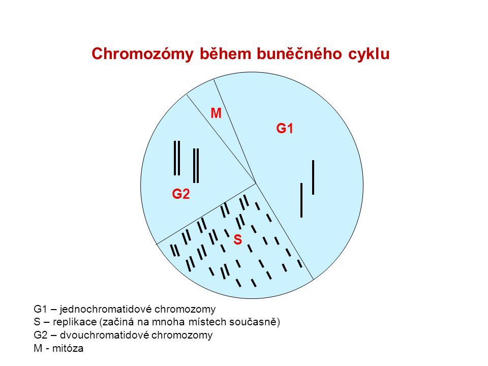 M G1 S G2 Chromozómy během buněčného cyklu G1 – jednochromatidové chromozomy S – replikace (začiná na mnoha místech současně) G2 – dvouchromatidové ch