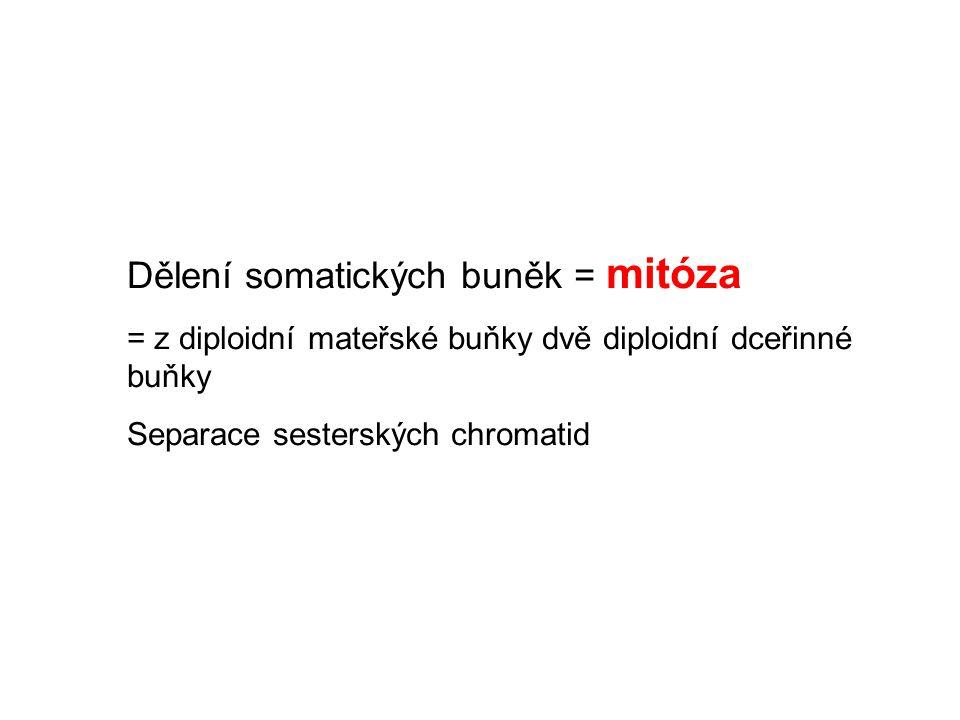 Dělení somatických buněk = mitóza = z diploidní mateřské buňky dvě diploidní dceřinné buňky Separace sesterských chromatid