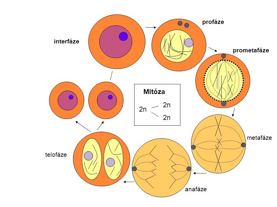 Úloha specifických proteinů v mitóze : Topoizomeráza II (TOPO II) - kondenzace chromozomů (součást komplexu nehistonových proteinů chromatinu) - vytváří přechodné dvouvláknové zlomy DNA - uvolnění spiralizace, rozpletení separace chromatid Centrozom = centrum organizující mikrotubuly – γ-tubulin, centrozominy duplikován v S fázi (cyklin E/CDK2) protein Eg5 – separace centrozomů (centriol) a jejich pohyb k polům buňky Separovaný centrozom - reorganizace mikrotubulů do mitotického vřeténka protein NuMA (nuclear mitotic apparatus) + protein dynein – napojení mitotického vřeténka na centrioly Kinetochorový protein (z rodiny kinezinů) = motorový protein – pohyb chromozomů CDC (Cell division cycle) proteiny – přechod z metafáze do anafáze Geny: MAD,BUB, APC – regulují průchod mitózou protein PRC1- role v cytokinezi a mnoho dalších