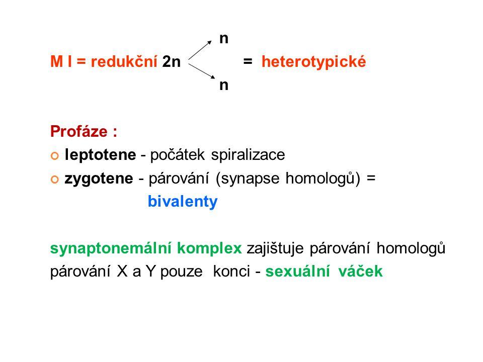n M I = redukční 2n = heterotypické n Profáze : leptotene - počátek spiralizace zygotene - párování (synapse homologů) = bivalenty synaptonemální komp