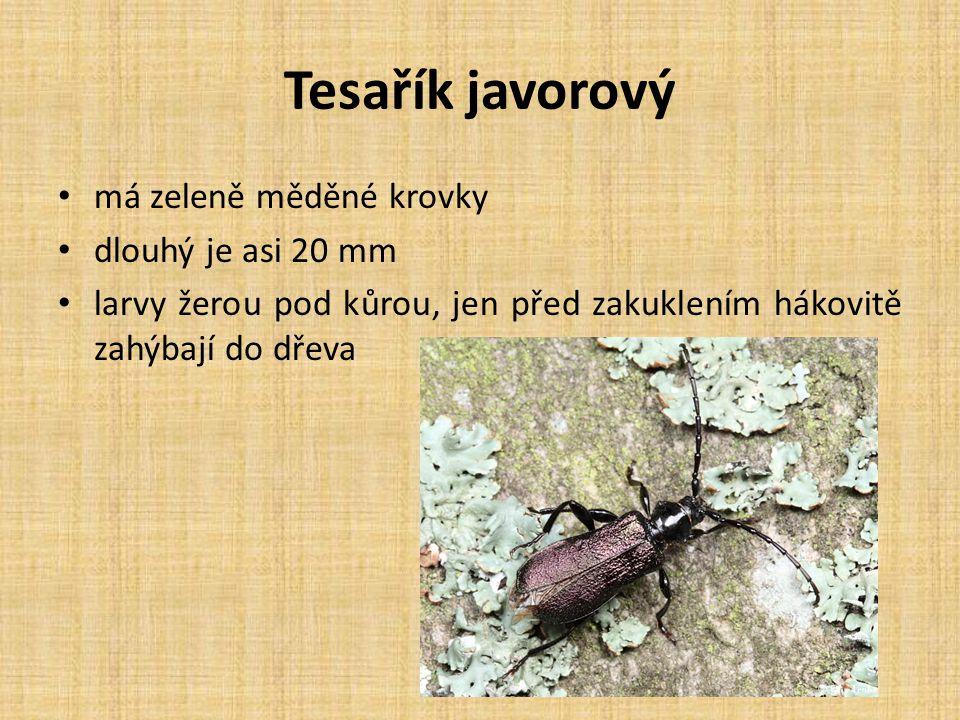 Tesařík javorový má zeleně měděné krovky dlouhý je asi 20 mm larvy žerou pod kůrou, jen před zakuklením hákovitě zahýbají do dřeva