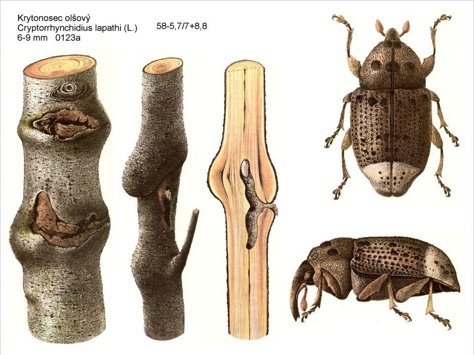 Bázlivec olšový černomodrá až tmavofialová mandelinka dlouhá 6 mm leskle černé larvy skeletují listy brouci listy dírkují při přemnožení chemické ošetření