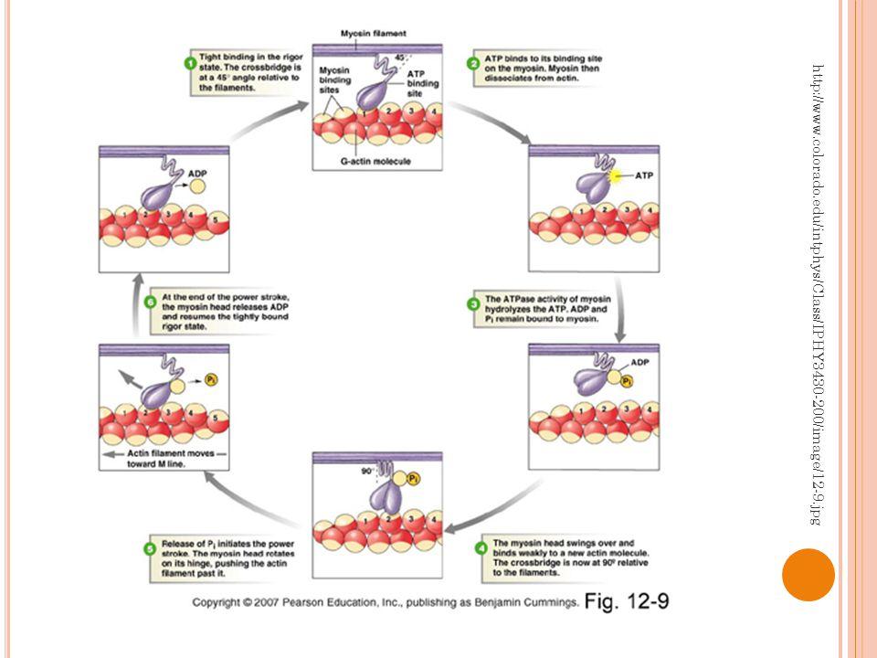 Z AHÁJENÍ KONTRAKCE AP vyvolá depolarizaci membrány Otevření dihydropyridinových kanálů pro Ca 2+ v sarkoplazmatické membráně Během fáze plató vstup extracelulárních Ca 2+ do kardiomyocytu samo nestačí ke kontrakci svalu (pouze 20% Ca 2+ ) Ca 2+ se naváží na ryanodinové receptory vápníkem indukovaných kanálů pro vápník Vylití Ca 2+ ze sarkoplazmatického retikula Zbylých 80% potřebných pro kontrakci