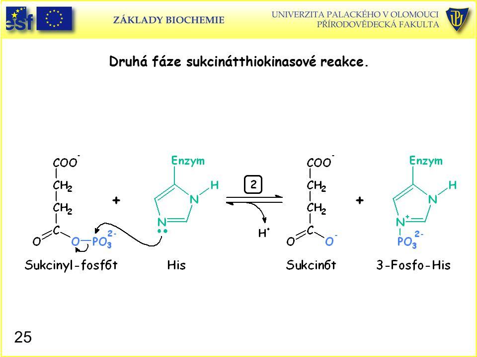 Druhá fáze sukcinátthiokinasové reakce. 25