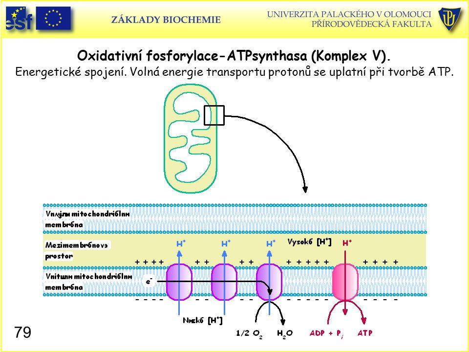 Oxidativní fosforylace-ATPsynthasa (Komplex V). Energetické spojení. Volná energie transportu protonů se uplatní při tvorbě ATP. 79