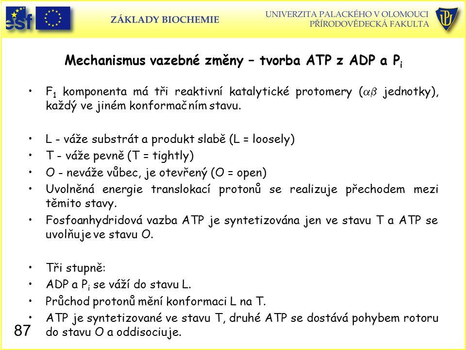 Mechanismus vazebné změny – tvorba ATP z ADP a P i F 1 komponenta má tři reaktivní katalytické protomery (  jednotky), každý ve jiném konformačním