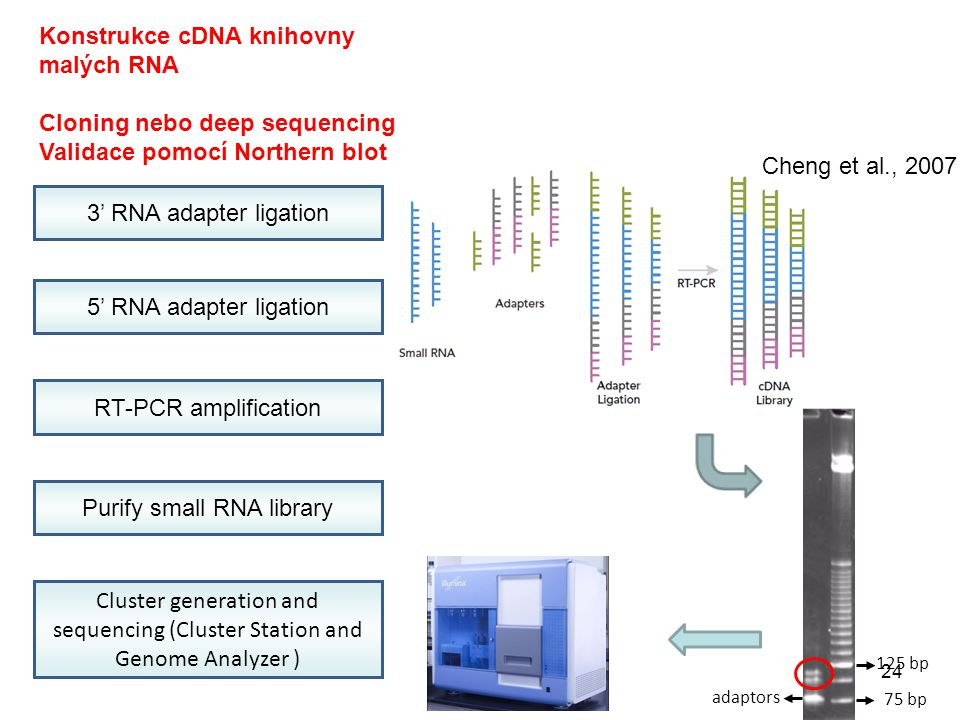 3' RNA adapter ligation 5' RNA adapter ligation RT-PCR amplification Purify small RNA library Cluster generation and sequencing (Cluster Station and Genome Analyzer ) 125 bp 75 bp adaptors Konstrukce cDNA knihovny malých RNA Cloning nebo deep sequencing Validace pomocí Northern blot Cheng et al., 2007 24