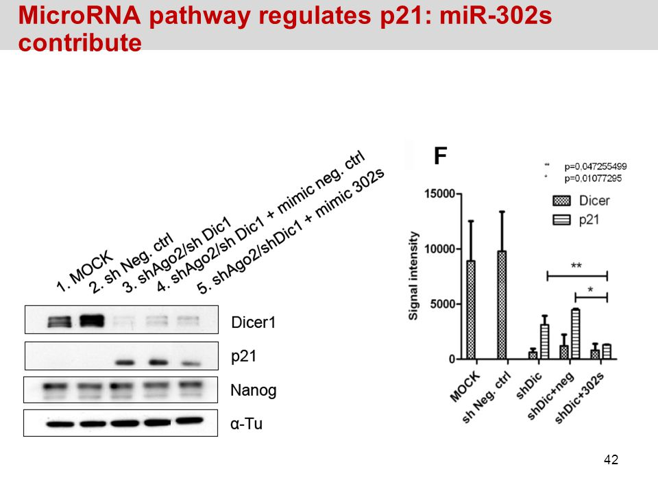 MicroRNA pathway regulates p21: miR-302s contribute 42