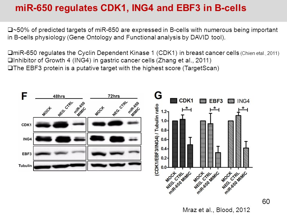miR-650 regulates CDK1, ING4 and EBF3 in B-cells  ~50% of predicted targets of miR-650 are expressed in B-cells with numerous being important in B-ce