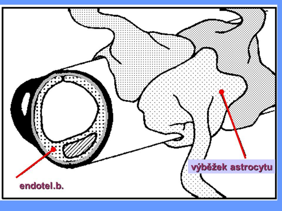 endotel.b.