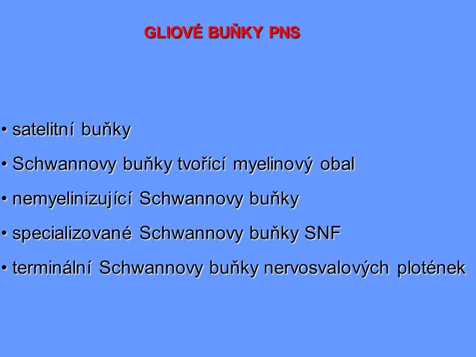 GLIOVÉ BUŇKY PNS satelitní buňky satelitní buňky Schwannovy buňky tvořící myelinový obal Schwannovy buňky tvořící myelinový obal nemyelinizující Schwa