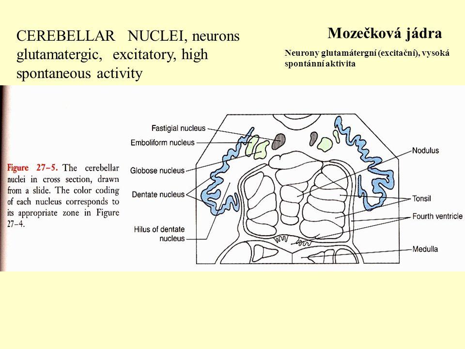 CEREBELLAR NUCLEI, neurons glutamatergic, excitatory, high spontaneous activity Mozečková jádra Neurony glutamátergní (excitační), vysoká spontánní ak