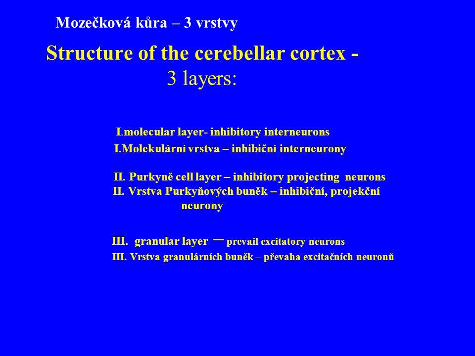Structure of the cerebellar cortex - 3 layers: I.molecular layer- inhibitory interneurons I.Molekulární vrstva – inhibiční interneurony II. Purkyně ce