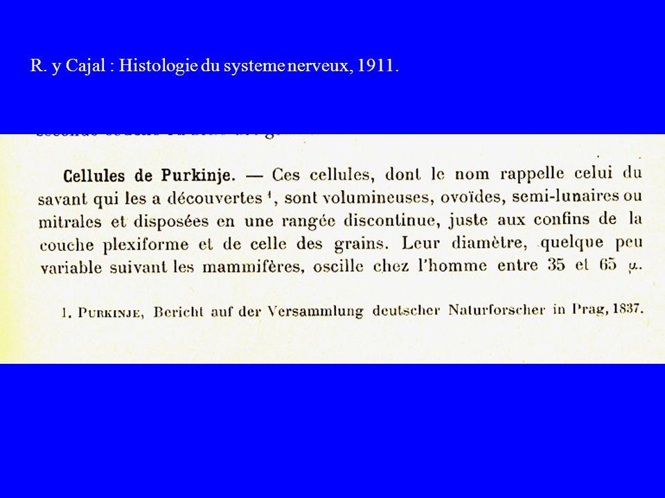 R. y Cajal : Histologie du systeme nerveux, 1911.