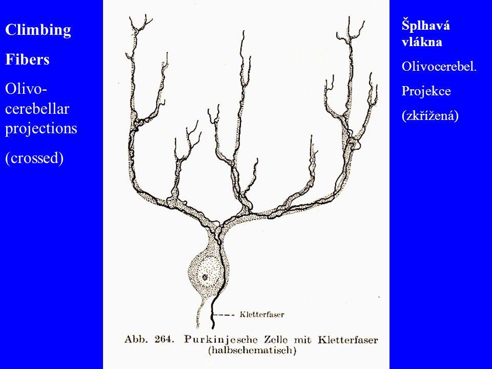 Climbing Fibers Olivo- cerebellar projections (crossed) Šplhavá vlákna Olivocerebel. Projekce (zkřížená)