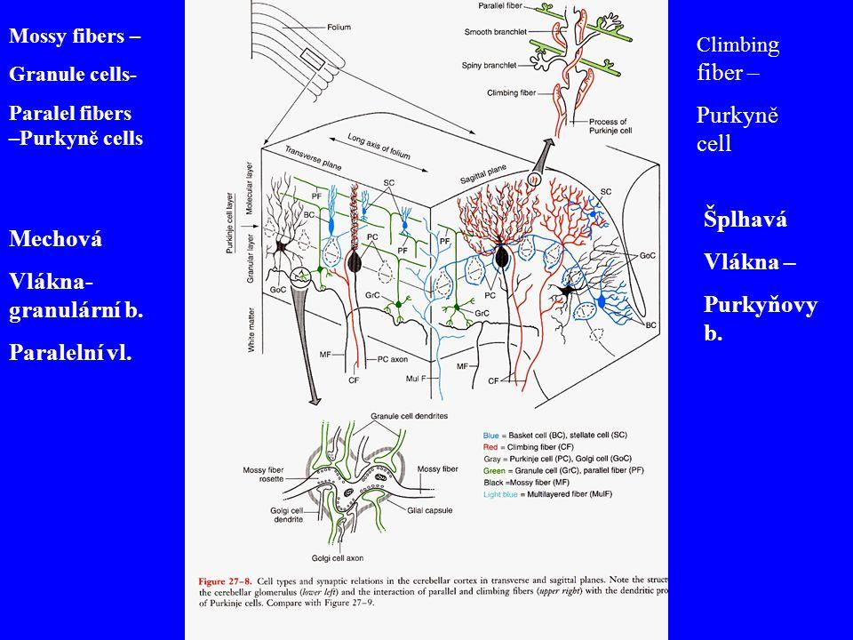 Mossy fibers – Granule cells- Paralel fibers –Purkyně cells Climbin g fiber – Purkyně cell Mechová Vlákna- granulární b. Paralelní vl. Šplhavá Vlákna