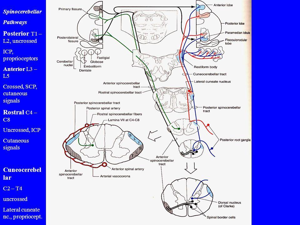 Spinocerebellar Pathways Posterior T1 – L2, uncrossed ICP, proprioceptors Anterior L3 – L5 Crossed, SCP, cutaneous signals Rostral C4 – C8 Uncrossed,