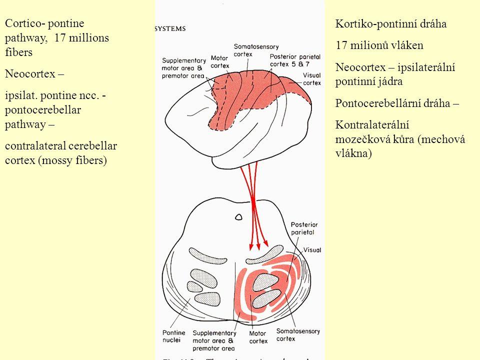 Cortico- pontine pathway, 17 millions fibers Neocortex – ipsilat. pontine ncc. - pontocerebellar pathway – contralateral cerebellar cortex (mossy fibe