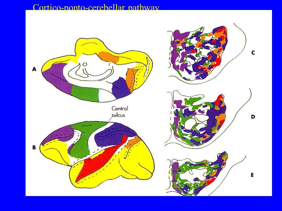 Cortico – ponto – cerebellar pathway Cortico-ponto-cerebellar pathway