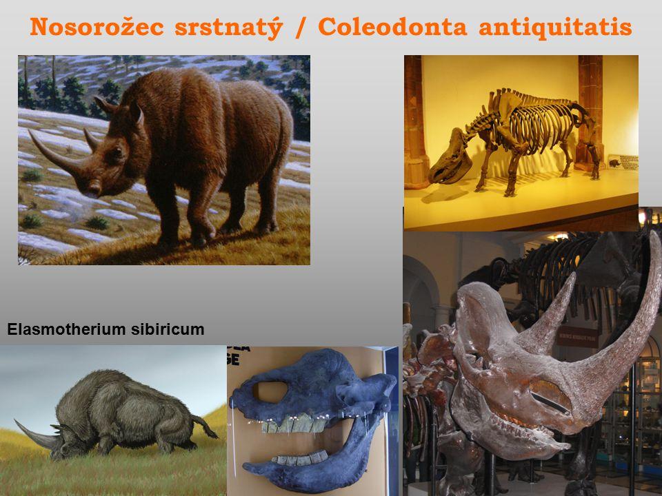 Nosorožec srstnatý / Coleodonta antiquitatis Elasmotherium sibiricum