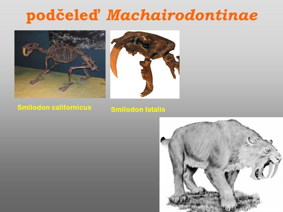 podčeleď Machairodontinae Smilodon californicus Smilodon fatalis