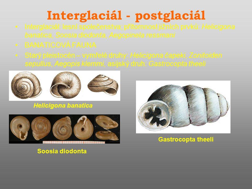 Interglaciál - postglaciál Interglaciál: lesní společenstva; přítomnost jižních prvků: Helicigona banatica, Soosia diodonta, Aegopinela ressmani BANATICOVÁ FAUNA Starý pleistocén – vymřelé druhy: Helicigona čapeki, Zonitoiden sepullus, Aegopis klemmi, asijský druh: Gastrocopta theeli Helicigona banatica Soosia diodonta Gastrocopta theeli