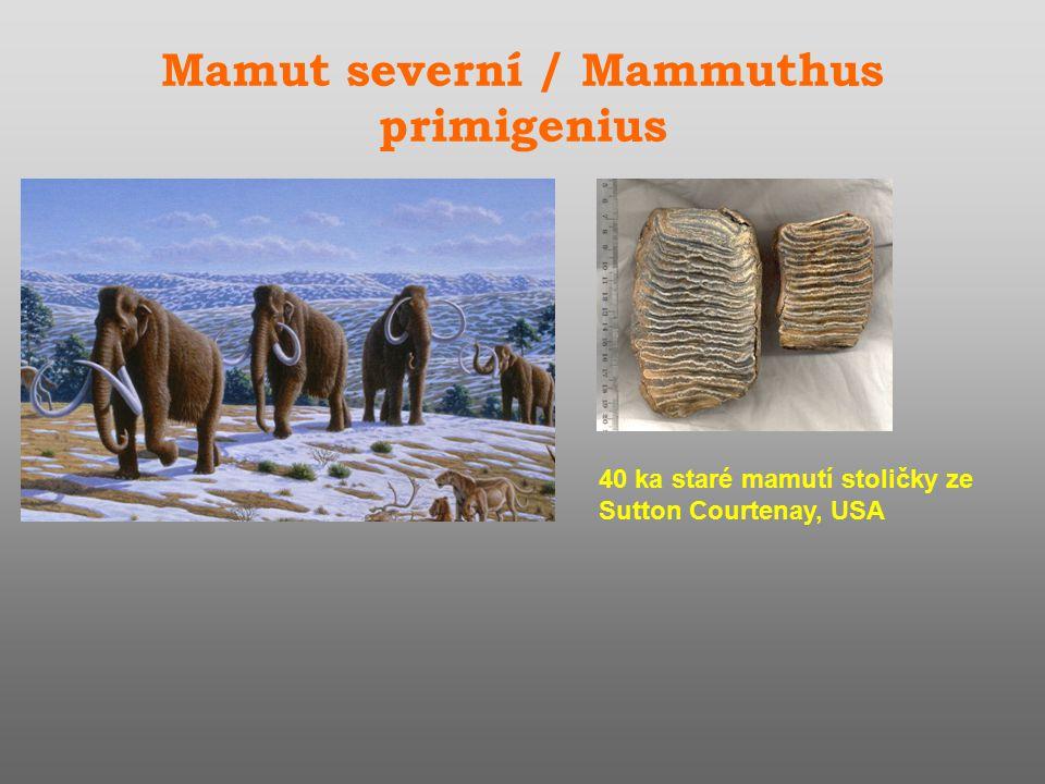 Mamut severní / Mammuthus primigenius 40 ka staré mamutí stoličky ze Sutton Courtenay, USA