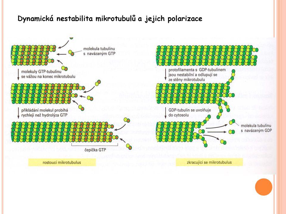 Dynamická nestabilita mikrotubulů a jejich polarizace