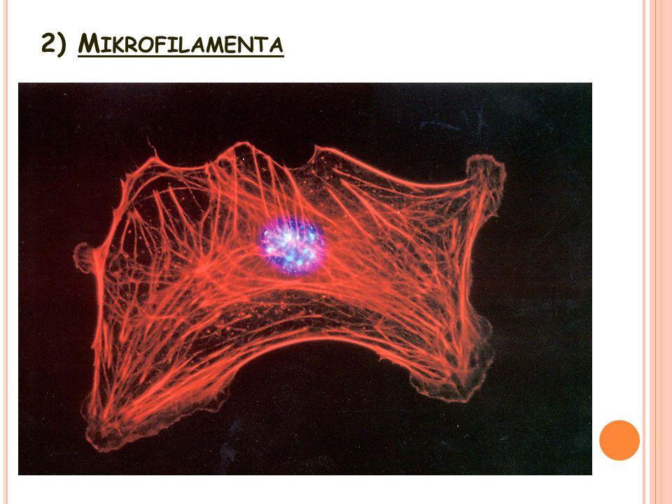 2) M IKROFILAMENTA