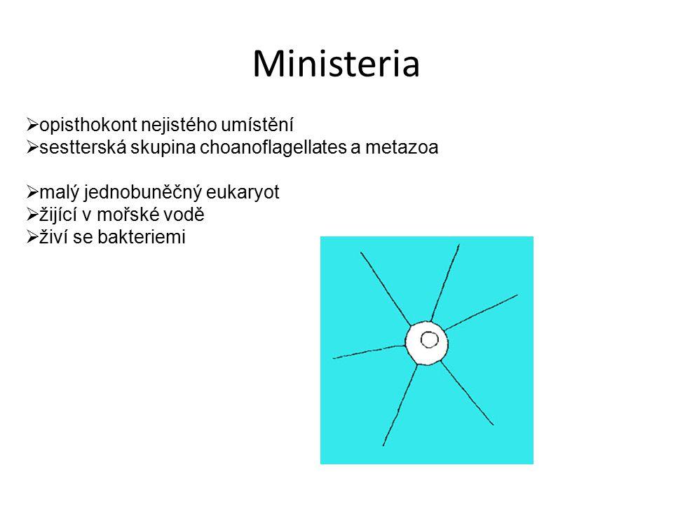 Ministeria  opisthokont nejistého umístění  sestterská skupina choanoflagellates a metazoa  malý jednobuněčný eukaryot  žijící v mořské vodě  živ