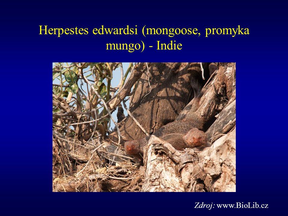 Herpestes edwardsi (mongoose, promyka mungo) - Indie Zdroj: www.BioLib.cz