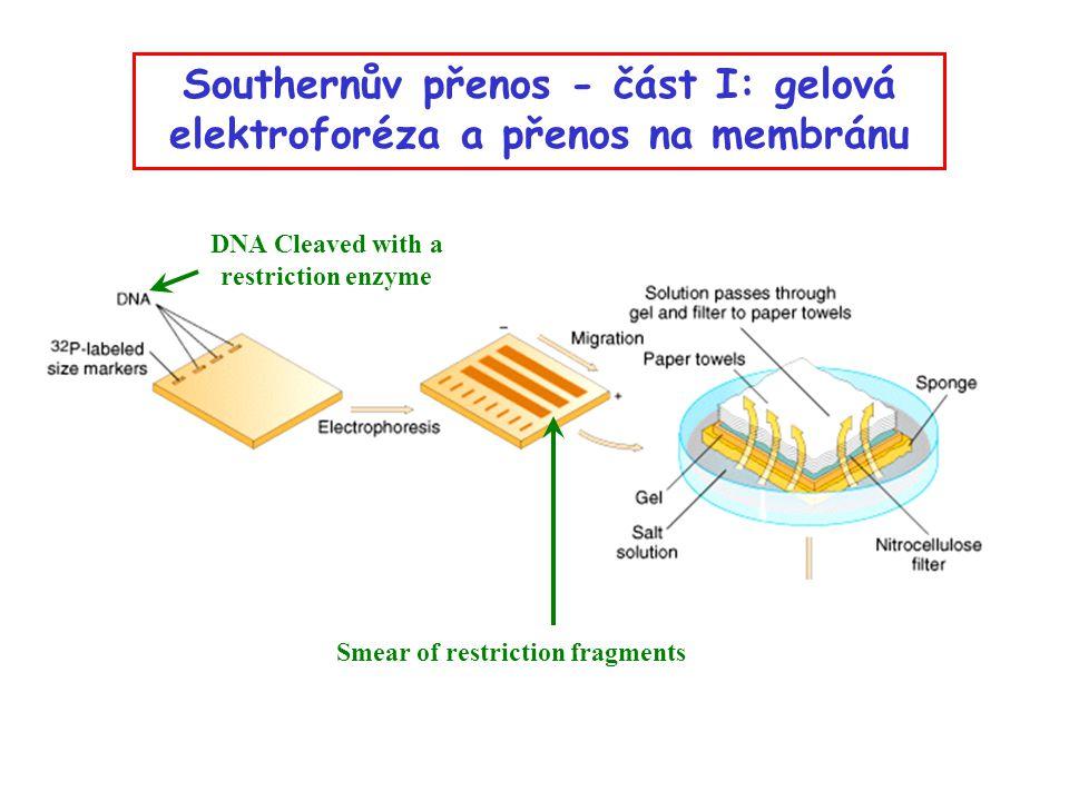 Southernův přenos - část I: gelová elektroforéza a přenos na membránu DNA Cleaved with a restriction enzyme Smear of restriction fragments