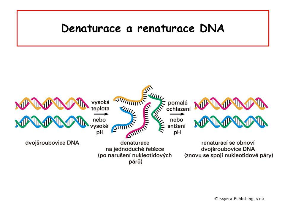 Denaturace DNA oddělení komplementárních vláken DNA působením vysoké teploty (90-100 o C), extrémních hodnot pH nebo denaturačních činidel (formamid, močovina) změna v uspořádání bazí při denaturaci zvyšuje absorbci světla při vlnové délce 260 nm (hyperchromní efekt)