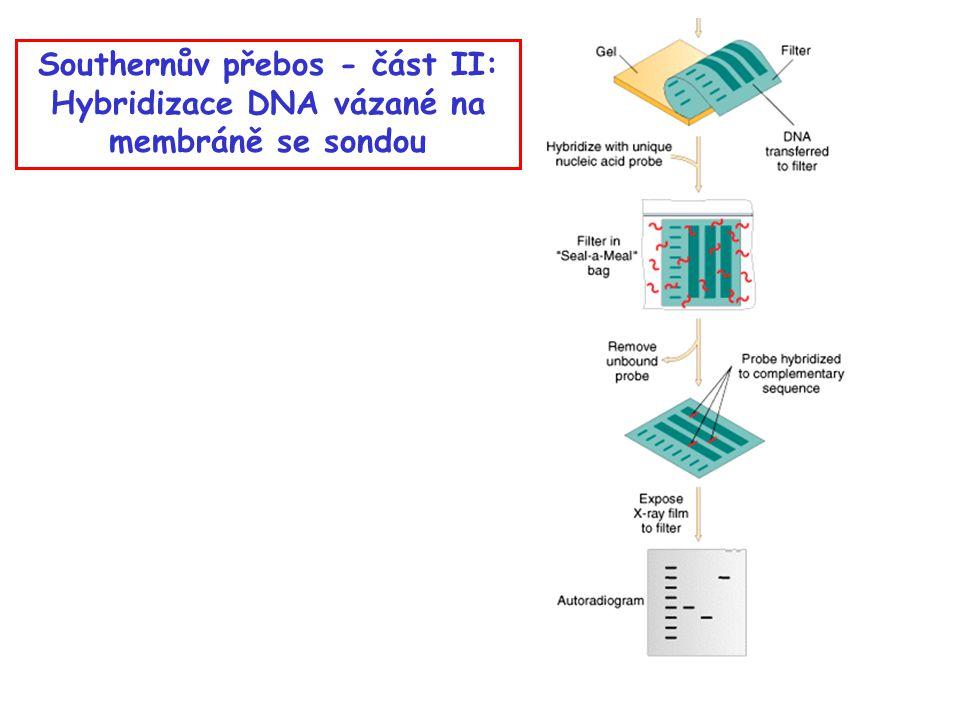 Southernův přebos - část II: Hybridizace DNA vázané na membráně se sondou