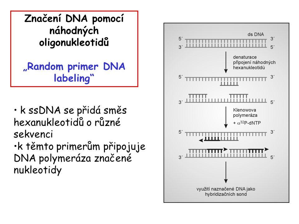 """Značení DNA pomocí náhodných oligonukleotidů """"Random primer DNA labeling"""" k ssDNA se přidá směs hexanukleotidů o různé sekvenci k těmto primerům připo"""