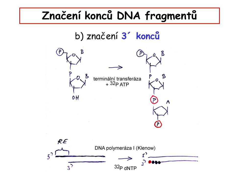 Značení konců DNA fragmentů b) značení 3´ konců