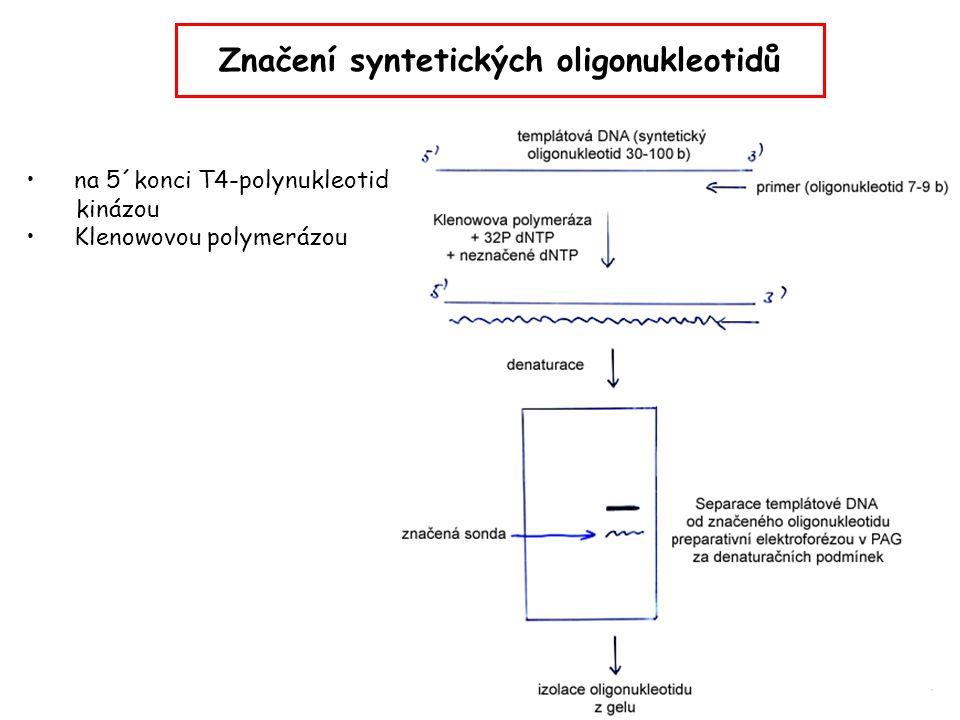 Značení syntetických oligonukleotidů na 5´konci T4-polynukleotid kinázou Klenowovou polymerázou