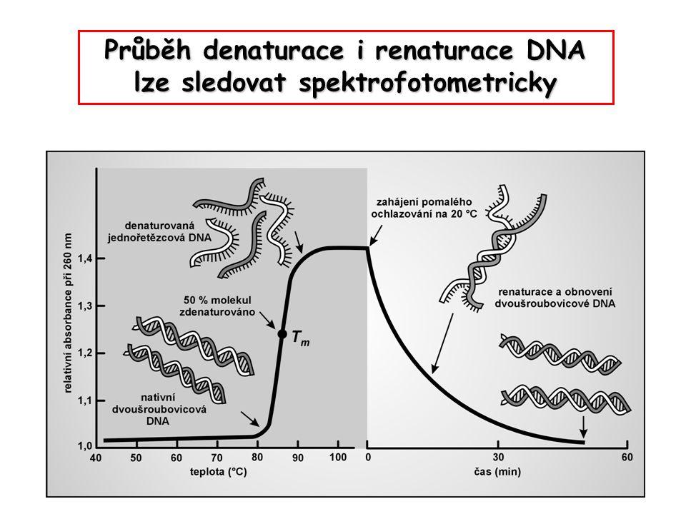 Průběh denaturace i renaturace DNA lze sledovat spektrofotometricky