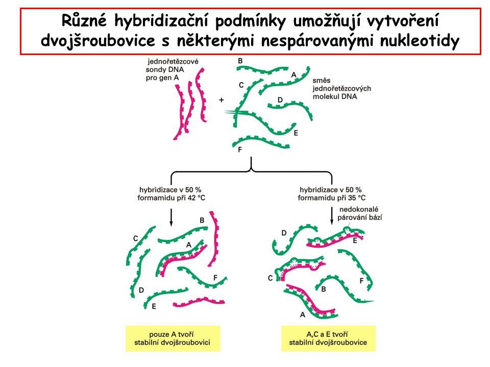 Různé hybridizační podmínky umožňují vytvoření dvojšroubovice s některými nespárovanými nukleotidy