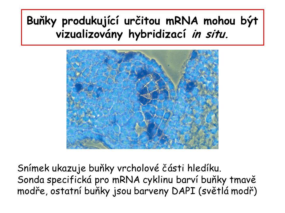 Buňky produkující určitou mRNA mohou být vizualizovány hybridizací in situ. Snímek ukazuje buňky vrcholové části hledíku. Sonda specifická pro mRNA cy