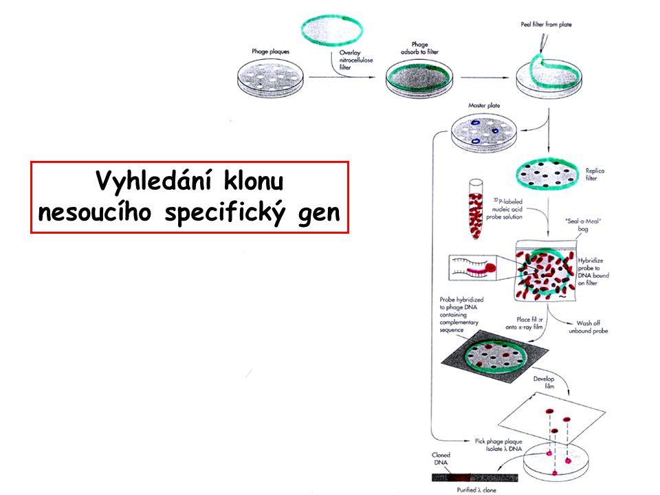 Vyhledání klonu nesoucího specifický gen