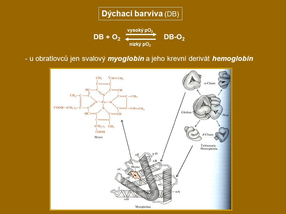 Dýchací barviva (DB) - u obratlovců jen svalový myoglobin a jeho krevní derivát hemoglobin DB + O 2 DB-O 2 nízký pO 2 vysoký pO 2