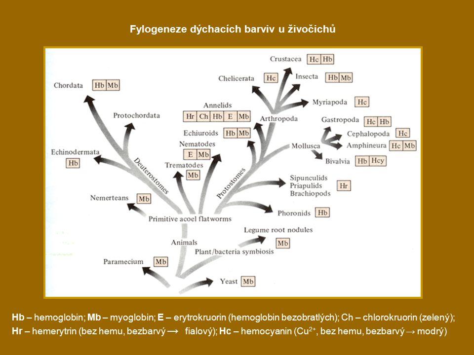 Fylogeneze dýchacích barviv u živočichů Hb – hemoglobin; Mb – myoglobin; E – erytrokruorin (hemoglobin bezobratlých); Ch – chlorokruorin (zelený); Hr – hemerytrin (bez hemu, bezbarvý → fialový); Hc – hemocyanin (Cu 2+, bez hemu, bezbarvý → modrý)