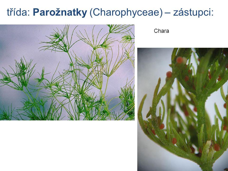 třída: Parožnatky (Charophyceae) – zástupci: Chara