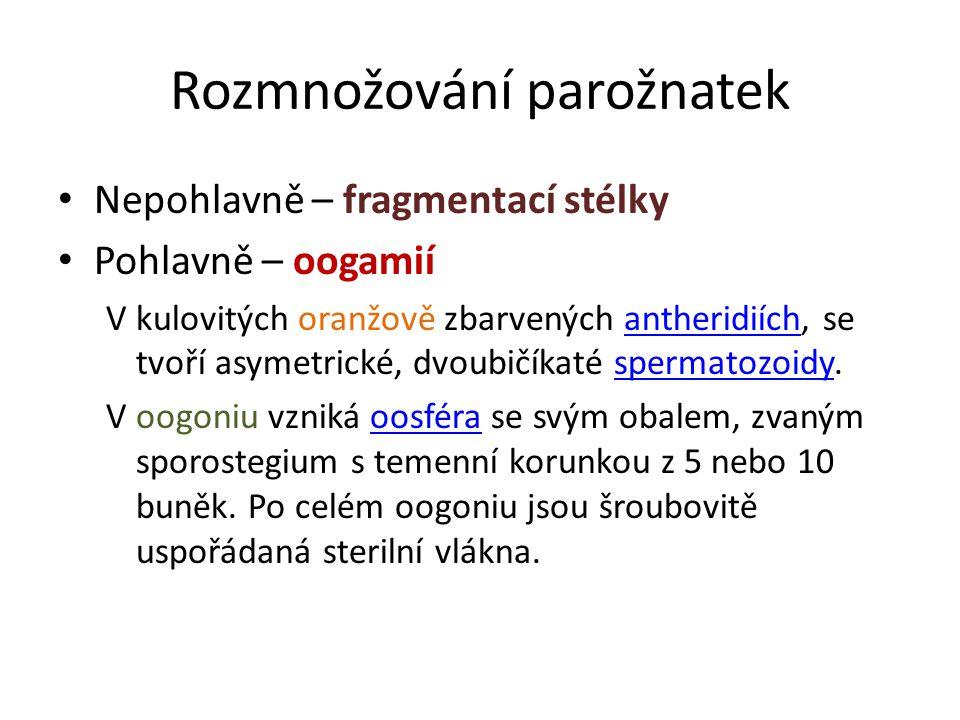 Rozmnožování parožnatek Nepohlavně – fragmentací stélky Pohlavně – oogamií V kulovitých oranžově zbarvených antheridiích, se tvoří asymetrické, dvoubičíkaté spermatozoidy.antheridiíchspermatozoidy V oogoniu vzniká oosféra se svým obalem, zvaným sporostegium s temenní korunkou z 5 nebo 10 buněk.