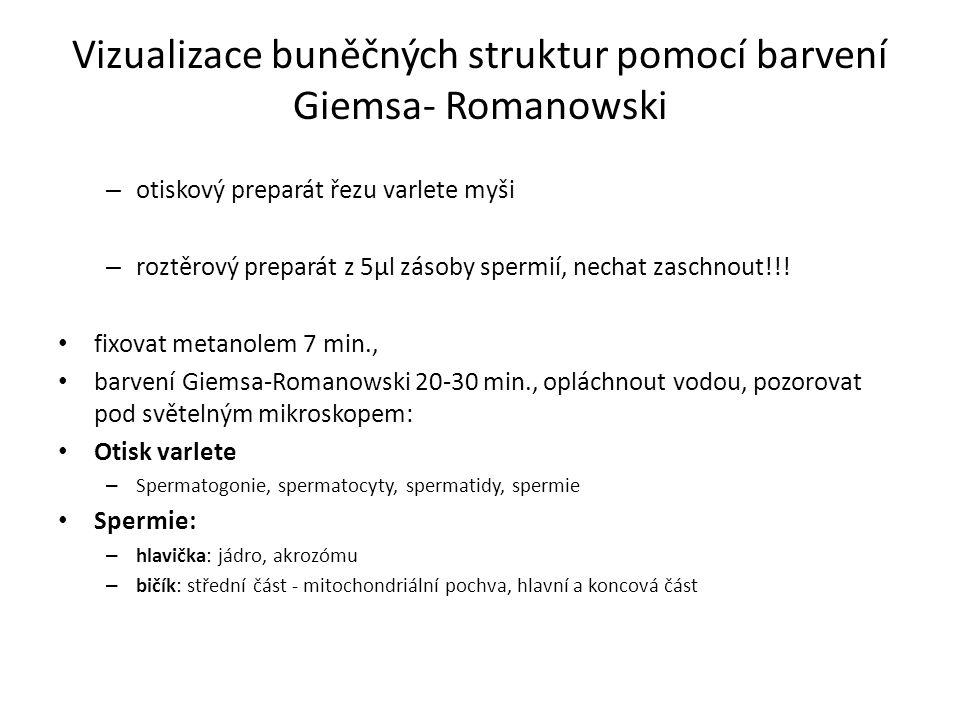 Vizualizace buněčných struktur pomocí barvení Giemsa- Romanowski – otiskový preparát řezu varlete myši – roztěrový preparát z 5μl zásoby spermií, nechat zaschnout!!.