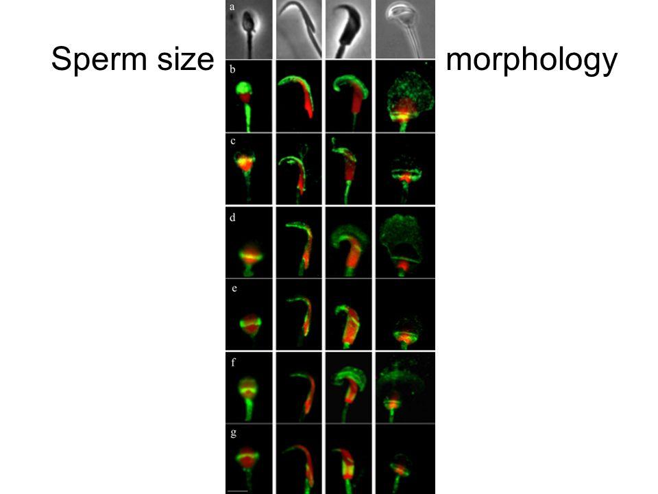 Sperm size morphology
